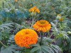 bunga-gumitir-77.jpg