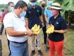bupati-jembrana-memanen-pisang-cavendish-kualitas-ekspor-di-perkebunan-perusda-di-pekutatan.jpg