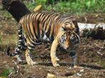 foto-ilustrasi-harimau-sumatra-via-tribunstyle.jpg