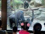 gorila-seks.jpg