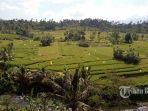 hamparan-sawah-desa-adat-gumung-kacamatan-manggis-karangasem.jpg