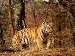 harimau-siberia.jpg