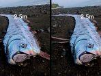 ikan-diperkirakan-oarfish-ditemukan-di-karangasem.jpg