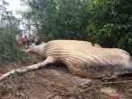 ikan-paus-bungkuk-ditemukan-di-tengah-hutan-amazon.jpg