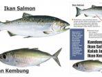 ikan-salmon-vs-ikan-kembung_20181006_185203.jpg