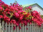 ilustrasi-bunga-bougenville-di-rumah.jpg