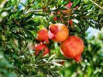 ilustrasi-foto-buah-delima-di-pohonnya.jpg
