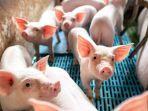 ilustrasi-peternakan-babi.jpg