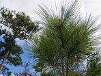 ilustrasi-pohon-cemara_20180404_100442.jpg