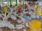 ilustrasi-salah-satu-peternakan-ayam-di-wilayah-kecamatan-tembuku.jpg