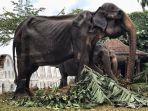 inilah-tikiiri-gajah-berusia-70-tahun-di-sri-lanka.jpg