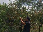 jeruk-buah-jeruk-di-perkebunan-milik-pande-sudah-tampak-menguning-rabu-1072019.jpg