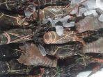 kabupaten-badung-mengekspor-produksi-lobster-hingga-ke-jepang.jpg