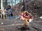kelompok-munduk-saab-desa-sambangan-memelihara-bunga-bangkai-yang-tumbuh-di-areal-perkebunan-jati.jpg