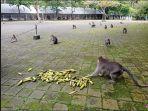 kondisi-monyet-selama-penutupan-objek-wisata-sangeh-pada-minggu-11-juli-2021.jpg