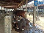 kondisi-sapi-sapi-yang-akan-dijual-di-pasar-beringkit-pada-jumat-16-juli-2021.jpg