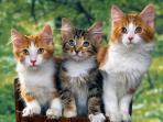 kucing-peliharaan-1211.jpg