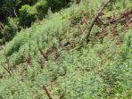 ladang-ganja-yang-ditemukan-di-tor-sipira-manuk.jpg