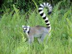 lemur-binatang-endemik-asal-madagaskar.jpg