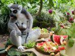 lemur-dan-bayi-lemur-sedang-menikmati-prasmanan-buah.jpg