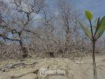 mangrove-mati-karena-reklamasi.jpg