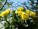 mawar-kuning_20180210_160503.jpg