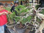 nur-mahyono-pedagang-tanaman-bonsai-merapikan-tanaman-bonsai-di-kawasan.jpg