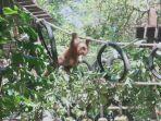 orangutan-bonbon-korban-selundupan-wn-rusia-di-bali-safari-marine-park.jpg