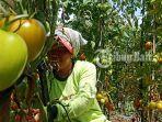 panen-seorang-warga-memetik-tomat-untuk-dipanen-rabu-342019.jpg