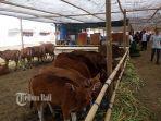 pengunjung-melihat-sapi-bali-pada-kontes-ternak-dan-panen-pedet.jpg
