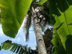petani-arak-di-desa-tri-eka-buana-kecamatan-sidemen-memanjat-pohon-kelapa.jpg