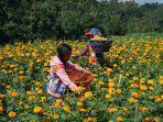 petani-bunga-gumitir-sedang-memanen-gumitir-di-lahannya-di-kecamatan-rendang.jpg