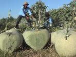petani-melon-tengah-memanen-hasil-kebunnya.jpg