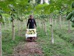 petani-pepaya-calina-di-banjar-waliang-desa-abang-kecamatan-abang-memanen-pepaya.jpg