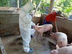 petugas-balai-besar-veterinereriner-denpasarmengambil-sampel-darah-babi-di-desa-cau-belayu.jpg