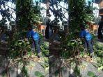 petugas-bpbd-denpasar-mengevakuasi-pohon-ketapang-yang-tumbang.jpg