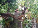 petugas-bpbd-karangasem-melakukan-penanganan-terhadap-pohon-tumbang.jpg