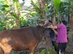 petugas-kesehatan-hewan-dinas-pertanian-buleleng-saat-melakukan-pemeriksaan-antemortem.jpg