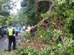 petugas-melakukan-pembersihan-pohon-tumbang-di-kawasan-hutan-cekik-jembrana.jpg