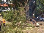 petugas-melakukan-penanganan-pohon-tumbang-di-kabupaten-tabanan-belum-lama-ini.jpg