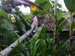 pohon-kelapa-setinggi-10-meter-tumbang.jpg