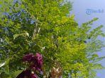 pohon-kelor.jpg