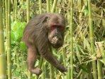 primata-jenis-makaka.jpg