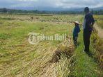 produsen-beras-memanen-padi-di-areal-persawahan-di-daerah-yehembang-kangin.jpg
