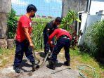 proses-evakuasi-ular-piton-oleh-regu-damkar-bpbd-denpasar.jpg