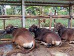 sapi-jantan-milik-peternak-berjejer-di-kandang-sekitar-kecamatan-bebandem-kab.jpg