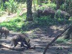 satwa-hyena-yang-jadi-satwa-baru-di-bali-safari.jpg