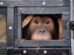 seekor-orangutan-sumatera-korban-penyelundupan-satwa-liar-melihat-dari-dalam.jpg