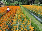seorang-petani-di-desa-abang-kecamatan-abang-memanen-bunga-gumitir.jpg
