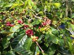seorang-petani-ketika-memetik-kopi-gelondong-merah.jpg